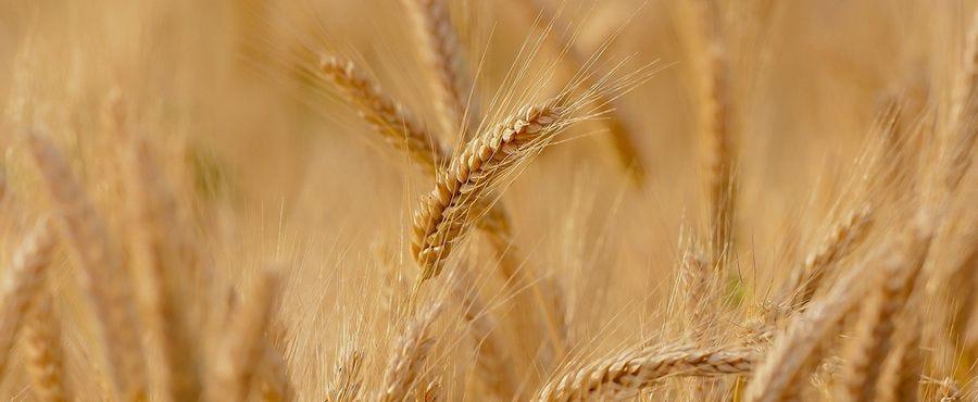 Céréales à paille printemps