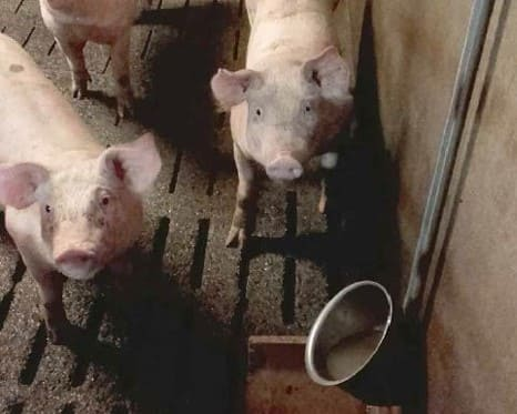 hydratation porcs avec bol à eau