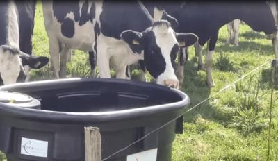 hydratation des vaches avec abreuvoir de prairie