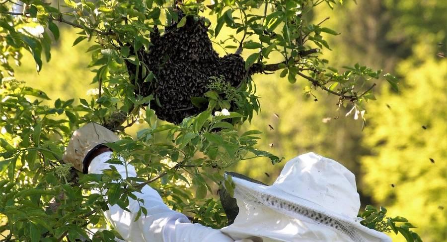 capturer essaim abeilles