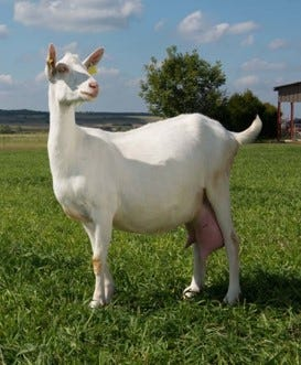 chèvre paturage