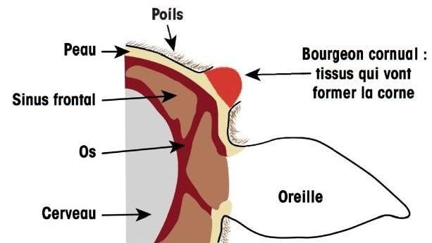 bourgeon cornual chevrette