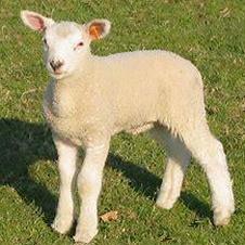 image agneau dans un champ