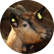 image élevage caprin
