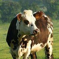 image vache dans un champ